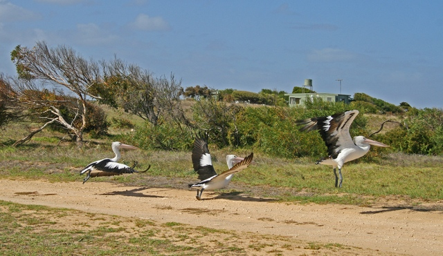 Pelicans at the Coorong